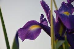 Iride blu con le foglie di mattina fotografia stock