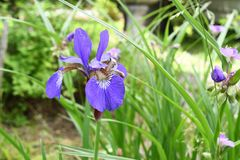 Iride blu nel giardino Immagini Stock Libere da Diritti