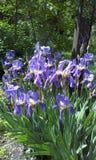 Iride blu nel giardino Immagini Stock