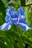 Iride del blu del fiore Fotografie Stock