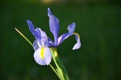iride del fiore fotografia stock libera da diritti