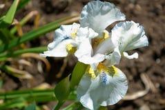 iride del fiore Immagine Stock