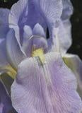 Iride di porpora di tempo di primavera Fotografia Stock Libera da Diritti