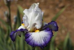 Iride, fiori Fotografia Stock Libera da Diritti