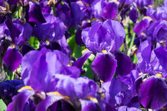 Iride in fioritura Fotografia Stock