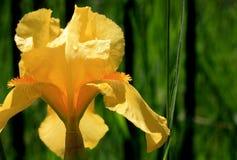 Iride gialla Immagine Stock