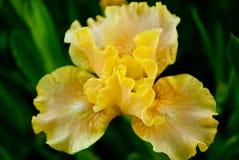 Iride gialla del fiore Fotografie Stock Libere da Diritti