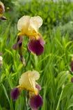 Iride gialla e porpora in piena fioritura immagine stock libera da diritti