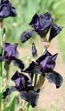 Iride nera 2 Fotografia Stock Libera da Diritti