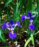Iride nordica della bandiera blu - iride versicolor Fotografia Stock