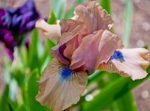 Iride rosa scura del fiore Immagine Stock