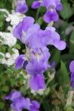Iride viola Fotografie Stock