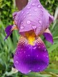 Iride viola e gialla Fotografia Stock Libera da Diritti