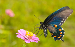Iridescent blue Green Swallowtail Stock Photography