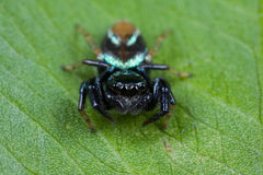 An iridescent blue jumping spider Stock Images