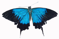 Iridescent blue ulysses butterfly. Papilio ulysses butterfly on white Royalty Free Stock Photos