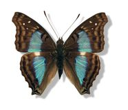 Iridescent butterfly Stock Photography
