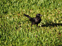 Iridescent Common Grackle in Grass Royalty Free Stock Images