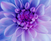 Iridescent dahlia flower blooms. Macro. pink-blue center. Closeup.  beautiful dahlia.  for design. Royalty Free Stock Image
