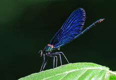 Iridescent damselfly Stock Photos