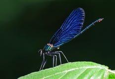 Iridescent damselfly. An iridescent Calopteryx virgo male Stock Photos