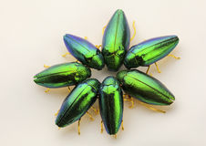 Iridescent Emerald green Jewel Beetles Royalty Free Stock Photos