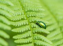 Iridescent flower chafer. On green fern frond Stock Photos