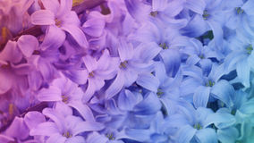 Iridescent  flowers lilac.  floral background.  floral  wallpaper for design. Royalty Free Stock Image