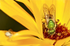 Iridescent green bee on yellow flower Stock Photography