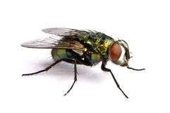 Iridescent house fly in close up Stock Image