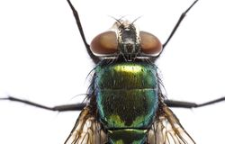Iridescent: house fly in close up Royalty Free Stock Photos