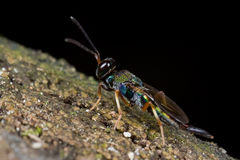 An iridescent jewel wasp on mossy tree trunk Royalty Free Stock Photos