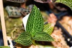 Iridescent leaves. With silver streaks of veins royalty free stock image