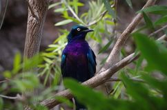 Starling at San Antonio Zoo. Iridescent multicolored starling on exhibit in the aviary at the San Antonio Zoo Royalty Free Stock Photo
