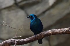 Starling at San Antonio Zoo. Iridescent multicolored starling on exhibit in the aviary at the San Antonio Zoo Stock Photography