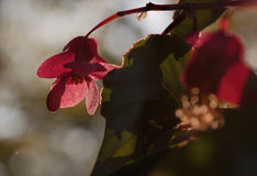 Iridescent Red Blossom of Dragon Wing Begonias Stock Image