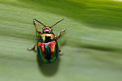 Iridescent small insect - dead nettle beetle (chrysolina fastuosa). Stock Photography