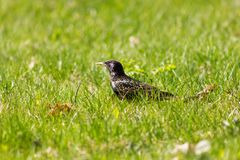 Iridescent starling walking on the grass and looking forward at Royalty Free Stock Images