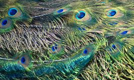 Peacock Tail. Iridescent tail feathers of a male peacock or pea fowl Royalty Free Stock Photography