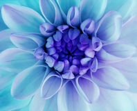 Iridescent turqoise dahlia flower blooms. Macro. blue center. Closeup.  beautiful dahlia.  for design. Royalty Free Stock Images