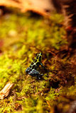 Iridescent variable poison dart frog Ranitomeya variabilis. Is found in the tropical rain forest of Peru Stock Photos