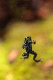 Iridescent variable poison dart frog Ranitomeya variabilis. Is found in the tropical rain forest of Peru Stock Image