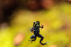 Iridescent variable poison dart frog Ranitomeya variabilis. Is found in the tropical rain forest of Peru Stock Images