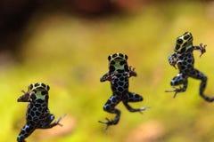Iridescent variable poison dart frog Ranitomeya variabilis Stock Image