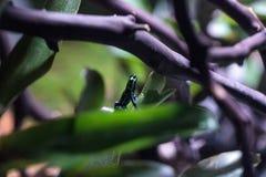 Iridescent variable poison dart frog Ranitomeya variabilis Royalty Free Stock Image
