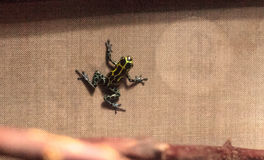 Iridescent variable poison dart frog Ranitomeya variabilis. Is found in the tropical rain forest of Peru Stock Photography