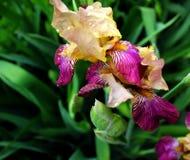 Iridi dei fiori Immagini Stock
