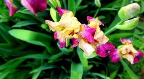 Iridi dei fiori Fotografie Stock