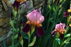 iridi dei fiori nel parco immagine stock