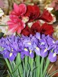 Iridi delicate contro lo sfondo dei fiori Fotografie Stock Libere da Diritti
